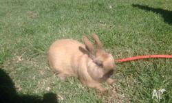 rabbit large female rabbit with harnes lead, and pet