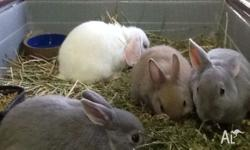 We currently have Mini Rex, Netherlands Dwarf and Mini