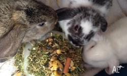 Baby dwarf lop eared rabbits for sale, 12 weeks old,