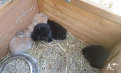Rabbits for sale. 1 black rabbit, 8 weeks old and 2