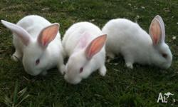 Pure Flemish Giant baby's looking for a new family