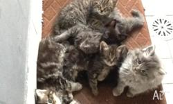 Rag doll x kittens very friendly Please text as cannot