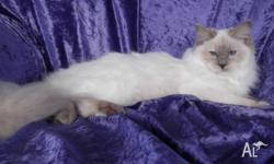 Peaches is a 4yo lilac tortie ragdoll. She retired from