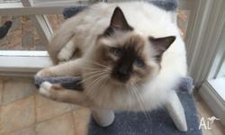 Ragdoll Chocolate Male Kitten. 8 months old. Purebred,