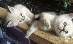 Purebred Ragdoll Kittens Currently 7 weeks old. Can