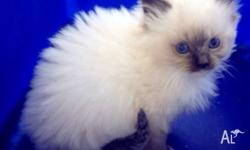 Pure bred ragdoll kittens will be vet checked