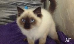 Male Ragdoll kitten available, wormed and vaccinations