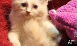 We have one beautiful little Ragdoll female available.