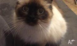 EOI purebred ragdoll kittens due early September. $500-