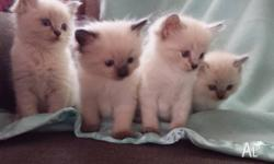 Purebred Ragdoll kittens, 4 boys and 2 girls, will be