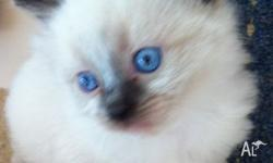 Paragonpaw Ragdolls is registered with TFA NSW Inc and