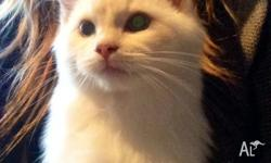 Very loving Ragdoll male kitten who's going to be a big