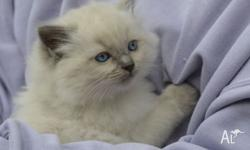 Chevalli ragdolls registered with Ancats NSW currently