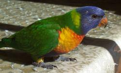 hand raised Rainbow Lorikeet baby tame and friendly