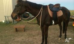 Rambo is rising 7 and approx 16.2hh. Extremely quiet