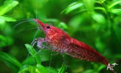 Red cherry shrimp for sale 10 for $20, 20 for $30 , 30