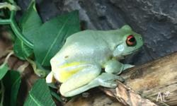 5x adult red eye green tree frogs for sale! Will sell