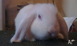Hi there, I have a purebred dwarf lop boy looking for