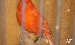 I have for sale RED FACTOR CANARIES this years young