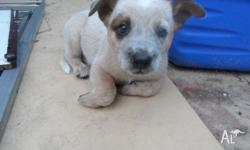 I HAVE 1 FEMALE RED HEELER PUPPY LEFT. HAS BEEN