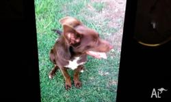 PURE BREED MALE RED KELPIE HAS BEEN VACCINATED WORMED