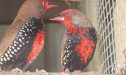 I have two male painted finches to sell or swap one for