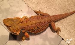 We have red phase baby bearded dragons for sale. Great
