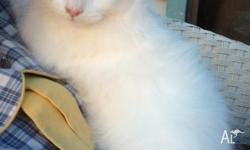 For sale are 4 fluffy Red Point Himalayan Cross
