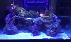 Red Sea max 250 only 5 months old all corals and fish