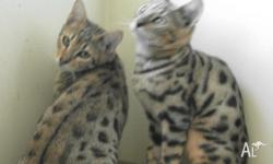 I have two very handsome young Bengal boys for sale. It