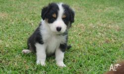 We have a stunnig litter of Border collie pups Reg with