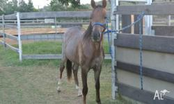 We have a Reg Welsh x Australian pony colt for sale he