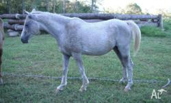 This boy is about 14.5hh and 14 years old. He has cards