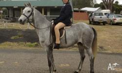 Registered Welsh pony with papers for sale. Jackson is