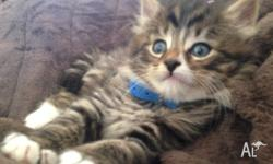 Tabby Longhair kitten 12 weeks old for adoption. He was