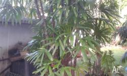 Very healthy plant approx 9ft high with 12 Stems in
