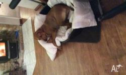 Female rhodesian ridgeback, spayed, vaccinated. Needs a