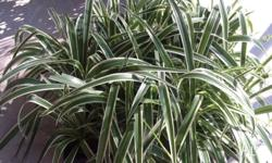 I have 15 ribbon plants for sale, grown in 100mm pots-