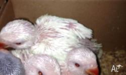 Hand-reared Ring Neck Babies available. Approximately 3