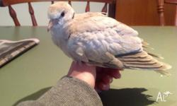 Hi! My name is Marshmallow. I am a Ringneck dove. My