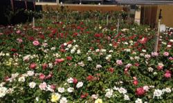 ROSES NURSERY - ROSES SPECIALISTS - GROUND ROSE BUSHES