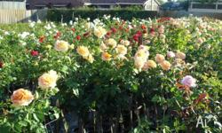 ROSES NURSERY - ROSES SPECIALISTS - STANDARD ROSE