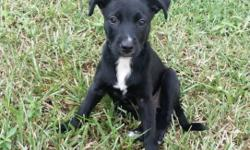 ROSIE FEMALE BORDER COLLIE X KELPIE 10 WEEKS OLD '$300