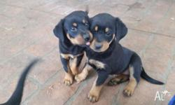 Beautiful Rottweiler cross Doberman puppies male or