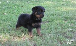 AKC GERMAN ROTTWEILER PUPPIES 3 FEMALES & 1 MALE