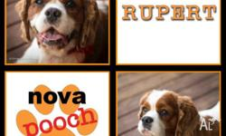 Rupert � Male Cavalier King Charles Spaniel Mix Age: 4