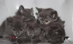 Gorgeous Russian Blue x Ragdoll kittens. All blue