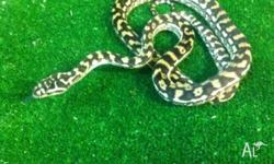 We have several brisbane carpet pythons on SALE were