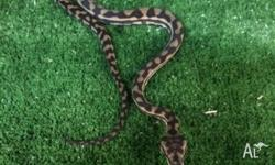 For this week only we have Northern Coastal Pythons ON