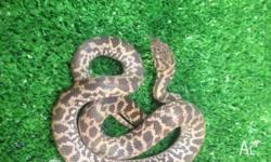 We have 2 yearling Spotted Pythons ON SALE! Normally